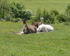 Halloo! Alpacas in the Halliloo Valley: Spoke 2-3 link